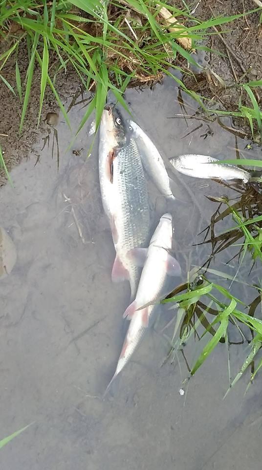 W wyniku pożaru chemikaliów w Żywcu doszło do katastrofy ekologicznej. W Sole padły tysiące ryb