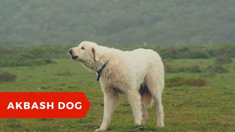 To wyhodowany w zachodniej Turcji molos w typie górskim. Jest psem pasterskim, ale Turcy wykorzystują go jako psa stróżująco-obronnego. Kiedy się go