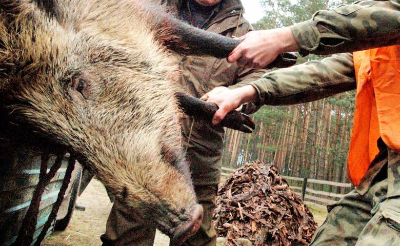 Od soboty, 12 stycznia, myśliwi w całej Polsce będą prowadzić odstrzał dzików. Okazuje się, że zabijane będą nie tylko pojedyncze sztuki. Na celowniku