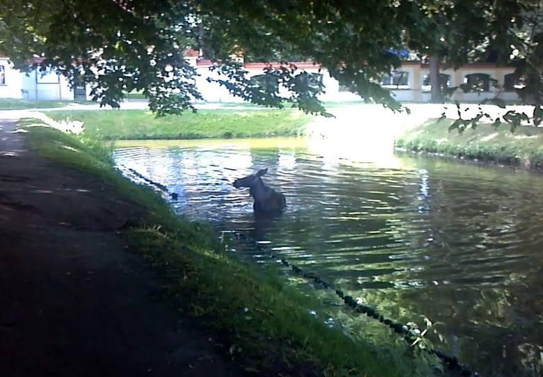 Łosie też lubią chłodzić się w stawie podczas letnich upałów. Żeby złapać zwierzę, trzeba było nieźle się natrudzić. Łoś nie dawał za wygraną, uciekając