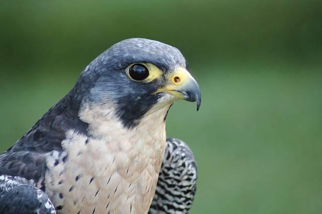 Wymaga ochrony czynnej, jako gatunek skrajnie zagrożony wyginięciem jest objęty ścisłą ochroną w Polsce. Wokół ich gniazd obowiązuje strefa ochronna: