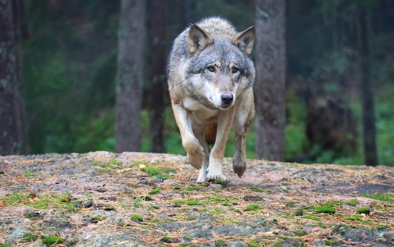 W Polsce żyje obecnie około 2 tys. wilków. Wiele z nich zamieszkuje na terenie województwa lubuskiego. Sprzyja temu duża lesistość naszego regionu. Wilków