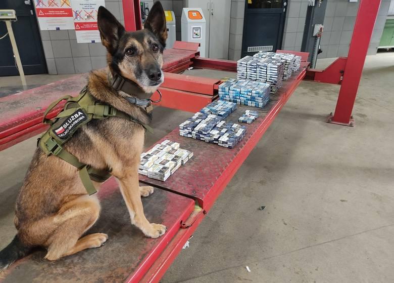 34-letni Ukrainiec w wielu skrytkach samochodu ukrył ponad 800 paczek papierosów. W ich wykryciu pomogła Cedra, służbowy pies celników.