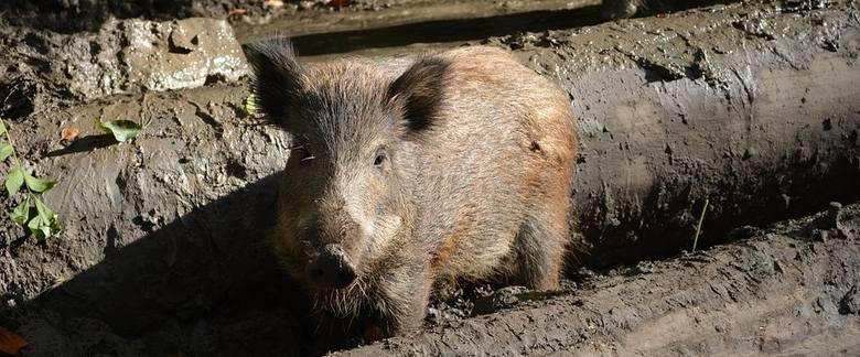 Wiceminister Bogucki: Afrykański pomór świń nie zna granic. Europa ma problem [rozmowa]