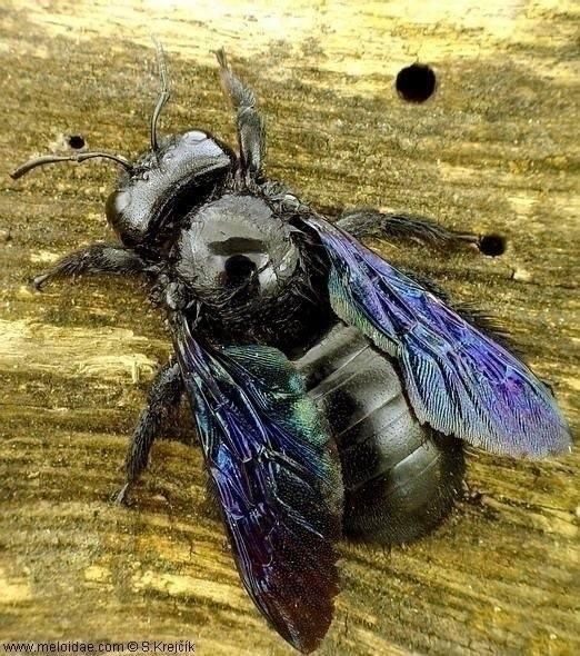 Czarna pszczoła ponownie w Polsce. Może być groźna? Użądlenie jest bolesne. Nie wolno jej zabijać. Jest bardzo pożyteczna