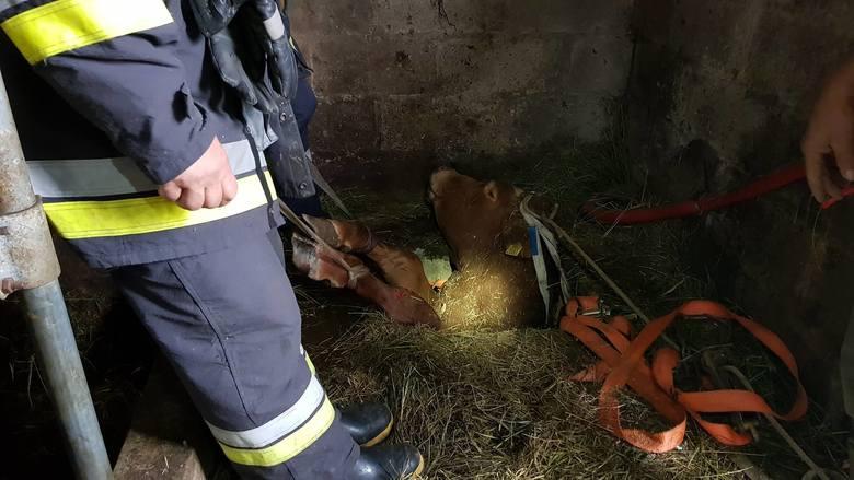 Strażacy z OSP Sztabin otrzymali w sobotę rano nietypowe zgłoszenie. W miejscowości Lebiedzin w powiecie augustowskim byk wpadł do piwnicy.Święto Konia