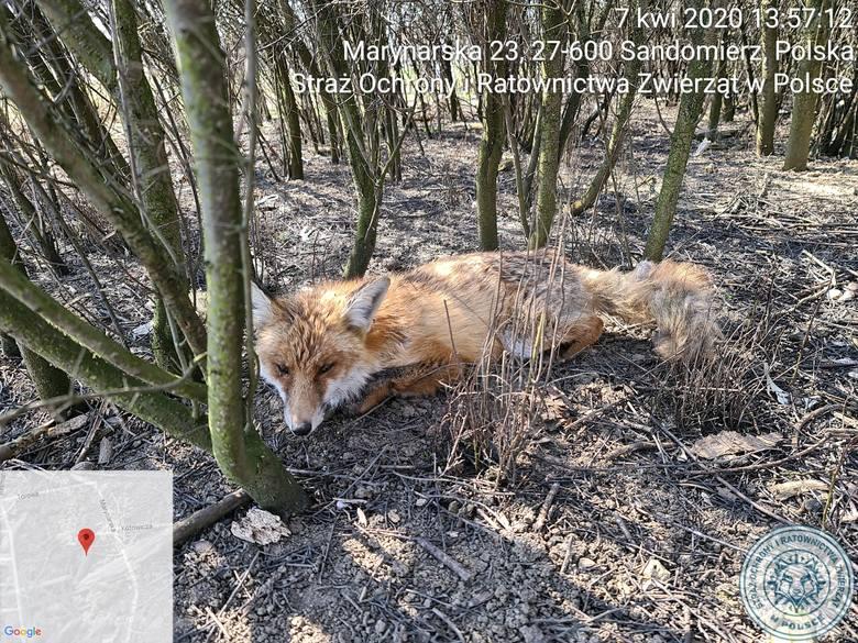 Awantura w Sandomierzu o opiekę nad rannym lisem. Obrońcy praw zwierząt a Straż Miejska