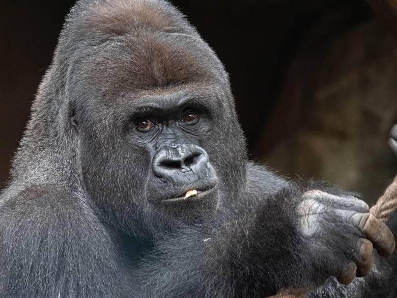 Do gatunków będących na wyginięciu, które są w grupie największego ryzyka zakażenia koronawirusem, należy zachodni goryl nizinny
