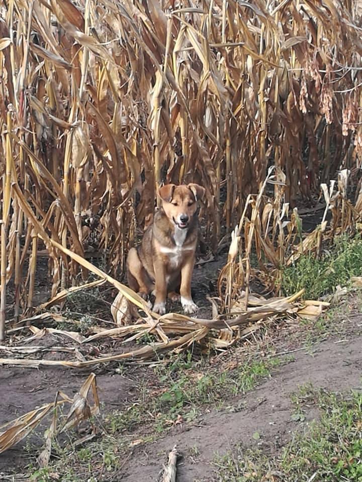 O bezdomnym psie, który mieszkał na polu kukurydzy przy ulicy Deszczowej w Inowrocławiu, poinformowali czas jakiś temu strażnicy miejscy.Opiekował się