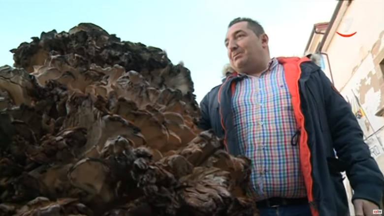 Za największy grzyb świata jeśli chodzi o zebrany owocnik uznaje się okaz wachlarzowca olbrzymiego znaleziony w Hiszpanii w 2019 roku. Szczęśliwym znalazcą