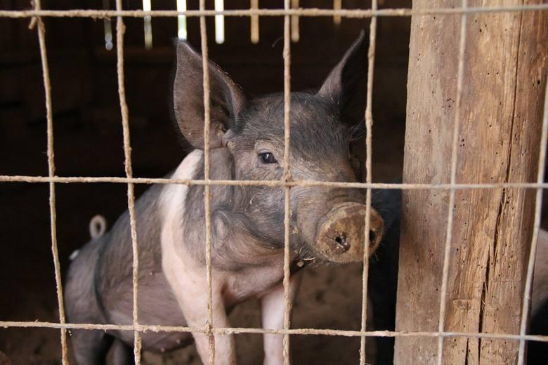 Pierwsze ognisko ASF u świń w 2021 roku - oficjalnie informacje. Dramat tym większy, że w potężnym stadzie