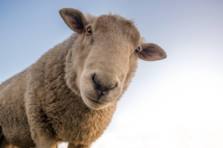 Pogłowie pozostałych zwierząt gospodarskich w Opolskiem: owce - 2359 (w 2010 r.), 2143 (w 2019 r.); kozy - 1661 (w 2010 r.), 532 (2019 r.), konie - 2976
