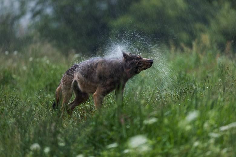 Wilczy prysznic – Bieszczady.<br />