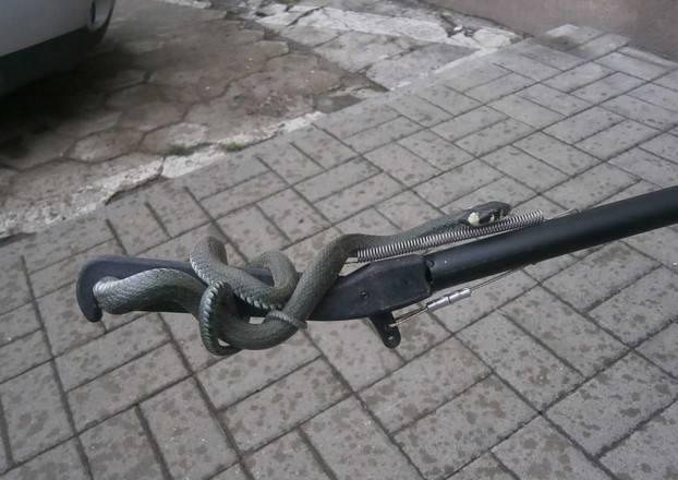 Wąż miał ponad 1,5 metra długości.