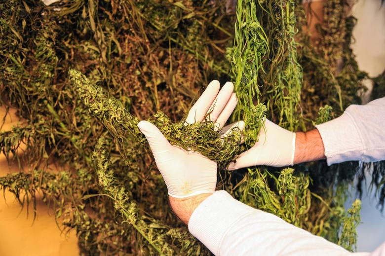 plantacja marihuany w gorzowie