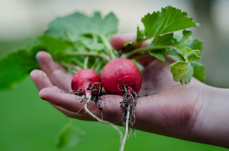 Najdalej w zestawieniu odpowiedzi na pytanie o ulubione warzywa, wystąpiły: szpinak, kukurydza, fasolka szparagowa, fasola, pietruszka, czosnek, brokuł