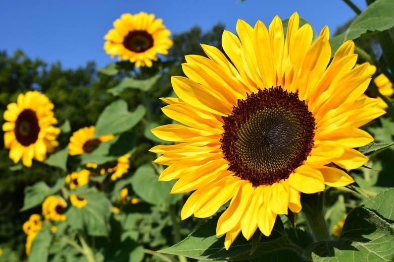 Słoneczniki rosną również na białostockich kwietnych łąkach