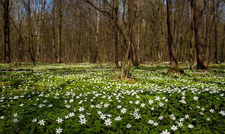Zawilec gajowy: niegdyś powszechny w wilgotnych lasach, dziś coraz rzadszy. Wiosną zakwitnie w Polesiu Konstantynowskim
