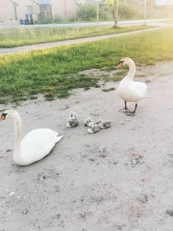 Mielno: Uwaga, rodzina łabędzi na drodze! [zdjęcia]