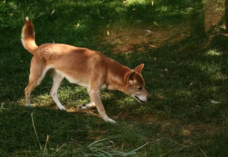 Śpiewający pies z Nowej GwineiRasa uznawana za wymarłą na wolności została ponownie zaobserwowana na wyżynach prowincji Papua w Nowej Gwinei. Dzikie