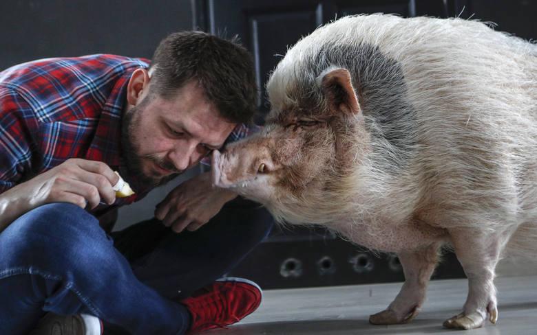 Krystian Tomasik i jego świnia Tytus mieszkają w bloku w centrum Rzeszowa.