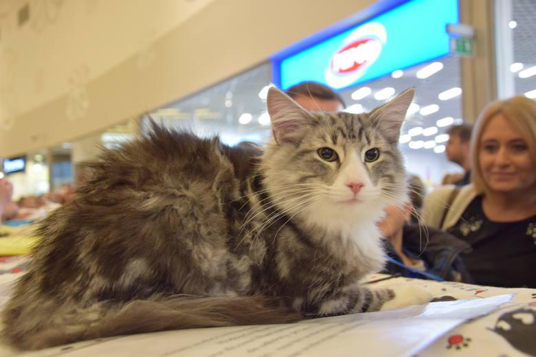 Najpiękniejsze koty na pokazie kotów rasowych w Gliwicach. Wśród kocich piękności mamy takie rasy jak: kot bengalski, kot syberyjski, sfinks, kot brytyjski