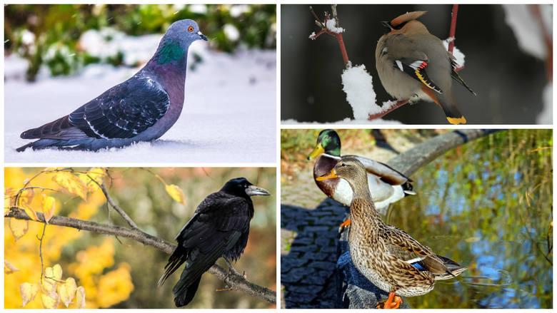 Ogólnopolskie Stowarzyszenie Ochrony Ptaków wraz z wolontariuszami 13. raz policzyło ptaki w Polsce. Zimowe Ptakoliczenie przeprowadzili 27-29 stycznia