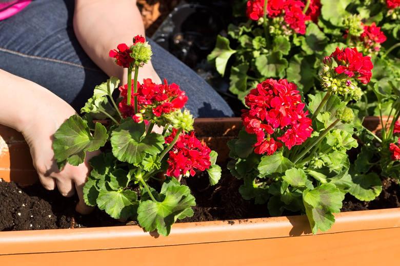 Najbardziej popularną rośliną balkonową jest pelargonia i nic dziwnego, gdyż ma ona wiele zalet - kwitnie od późnej wiosny do pierwszych przymrozków,