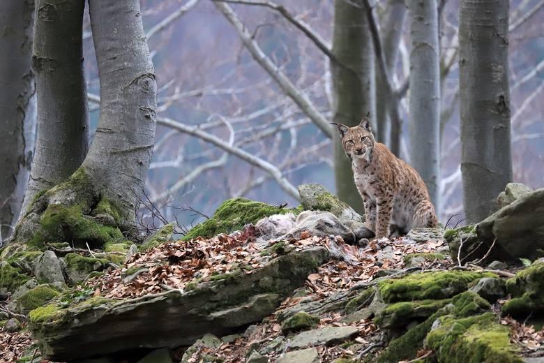 """Pierwszą nagrodę w kategorii Fauna i flora zdobył Roman Pasionek za swoje zdjęcie pt. """"Duch Puszczy""""."""