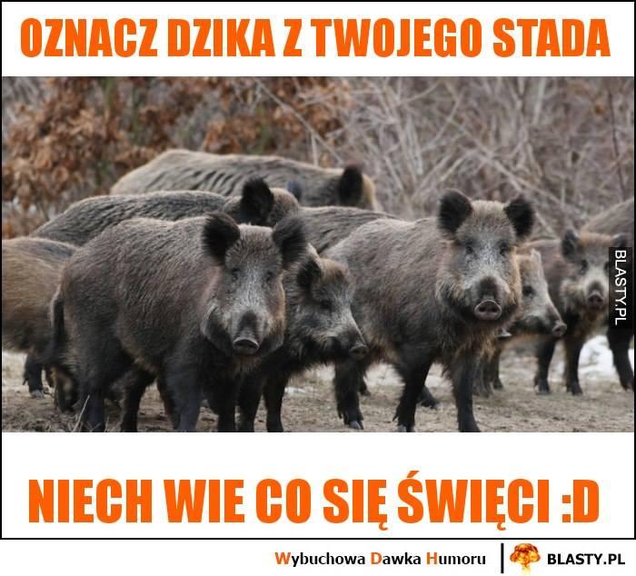 Zapowiadany masowy odstrzał dzików budzi olbrzymie kontrowersje. Wątpliwości co do słuszności takiej walki z afrykańskim pomorem świń mają nawet sami