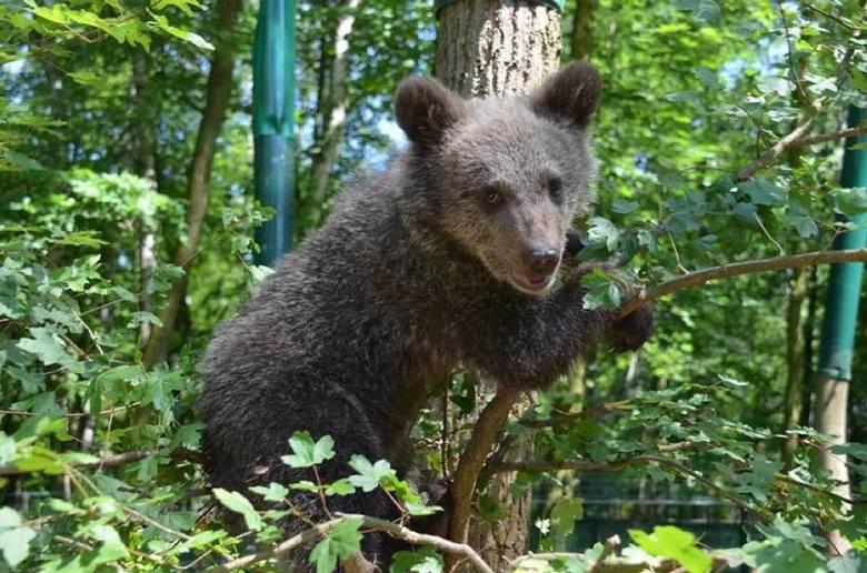 Cisna - jak z misia wyrosła niesforna niedźwiedzica