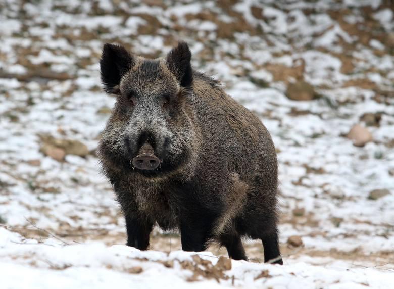 Masowy odstrzał dzików 2019: Dlaczego? Powód to ASF. Pierwsze polowania mają odbyć się 12, 13 stycznia. Protestują ekolodzy i... myśliwi