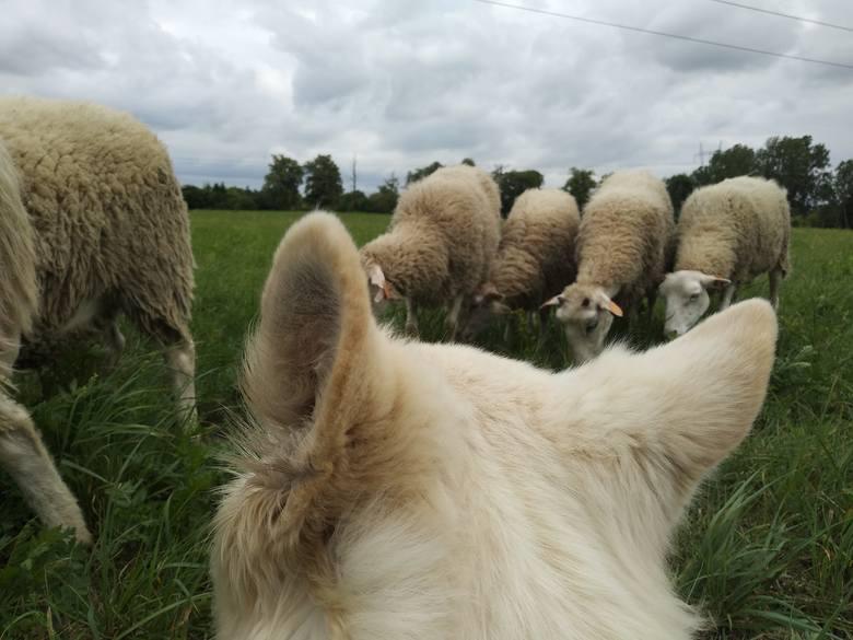 Owce wypasają się w Lublinie. Skubią już trawę nad Zalewem Zemborzyckim. Zobacz zdjęcia!