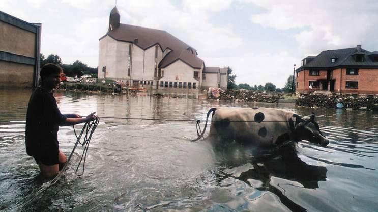 Opole 1997. Ulica Hallera. Tomasz Horoszkiewicz uratował byka, który przeżył powódź, ukrywszy się na schodach budynku jednej ze szkól.