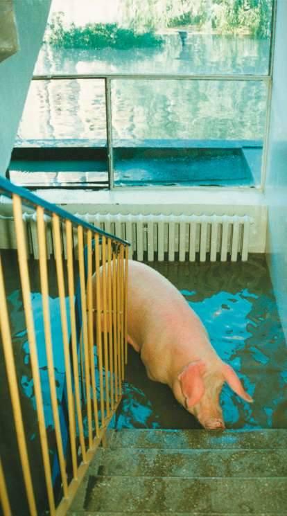 Opole 1997. Ulica Prószkowska. Jedna z klatek okazała się schronieniem dla świni, która przypłynęła razem z wodą.