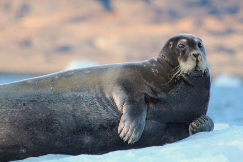 Niczym niewzruszona foka na krze lodowej w okolicy lodowca
