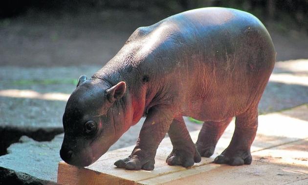Wrocław: Zoo ogłosiło konkurs na imię dla hipopotama