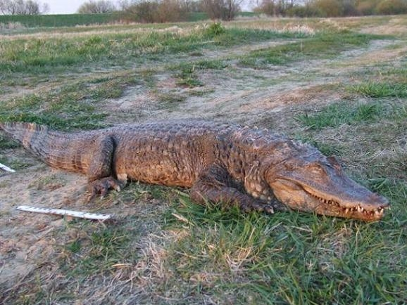Martwego krokodyla wyłowiono pod Słupcą z Warty