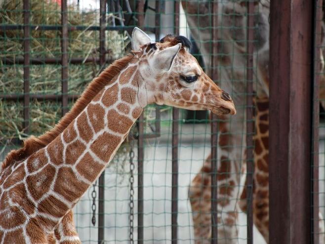 Wrocław: W zoo urodziła się żyrafa (ZDJĘCIA)