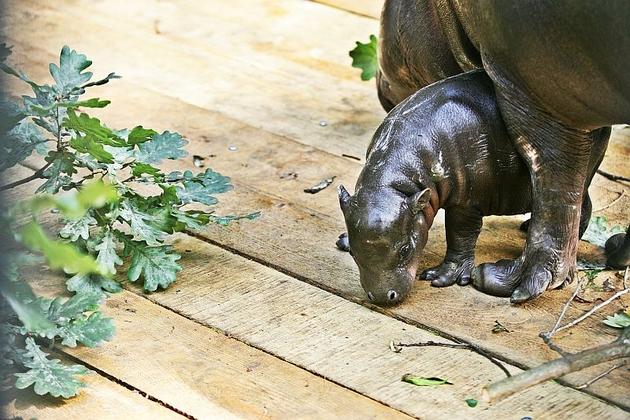 Młody hipopotam we Wrocławskim ZOO (ZDJĘCIA i FILM)