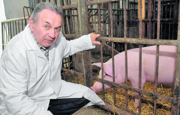 Profesor Zdzisław Smorąg zajmuje się badaniami nad świnią transgeniczną