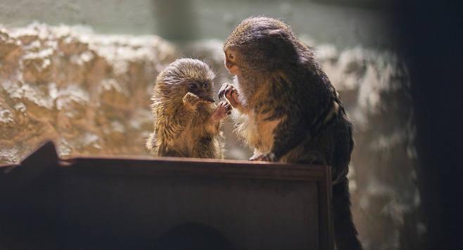 W łódzkim zoo urodziła się najmniejsza małpa świata