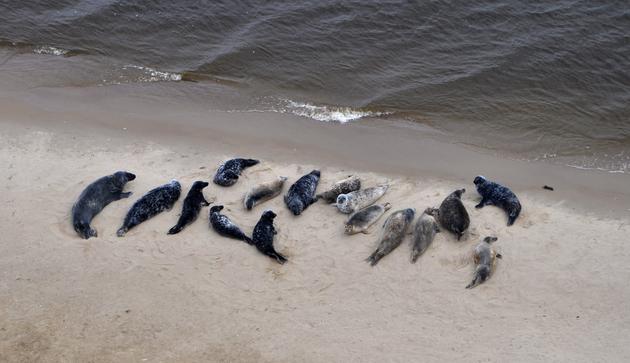 Rekordowa liczba fok na polskim wybrzeżu