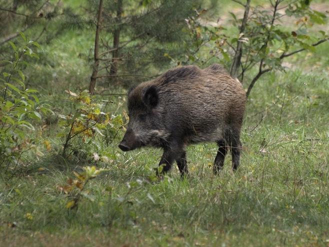 Dziki na Umultowie