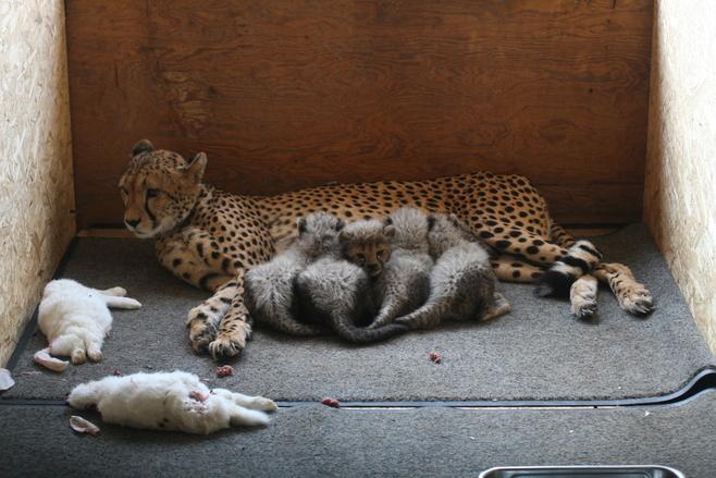 Śląskie gepardy można teraz podglądać siedząc w domu [ZDJĘCIA]