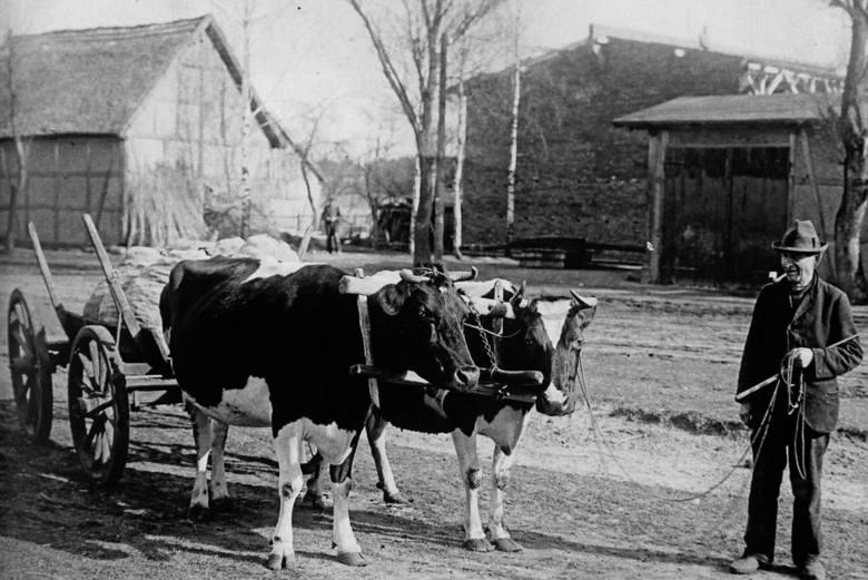 Mężczyzna prowadzący krowy w jarzmie. Izbica, 1933 r.
