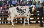 Czempionka, a zarazem największa krowa spośród prezentowanych na wystawie