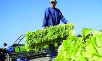Nad plantatorami tytoniu zbierają się czarne chmury. Wszystko przez to, że Komisja Europejska chce ich pozbawić dopłat do uprawy tej rośliny.