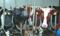 Jeśli w ogóle przekroczymy krajową kwotę mleczną, to minimalnie. A więc, ewentualne kary z tego tytułu będą również niewielkie.