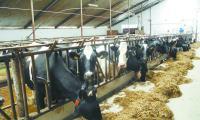 W III kwartale br. produkcja mleka zaczęła rosnąć. Specjaliści ostrzegają, że znowu możemy przekroczyć krajową kwotę mleczną.